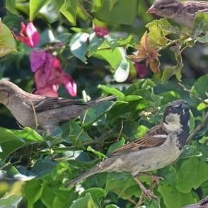 Sparrows on Bougainvillea
