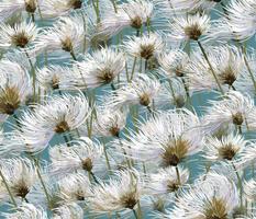 Cotton Grass Dream