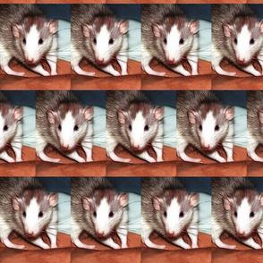 Ozma The Friendly Roan Fancy Rat