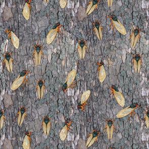 17 year cicadas on sycamore bark