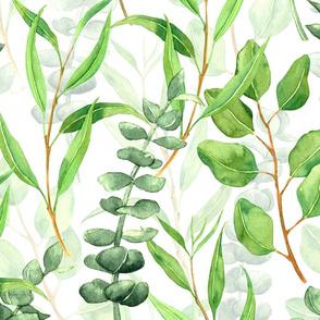 Eucalyptus Aromatherapy , big size