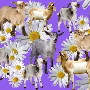 goat collage lavender