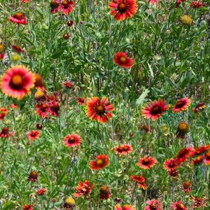 Red Wildflowers of Texas