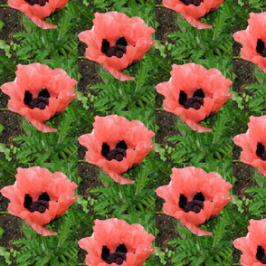 Pink poppy 1