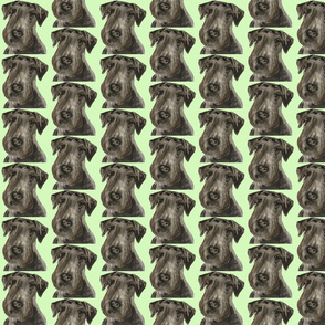 Cesky Terrier Head