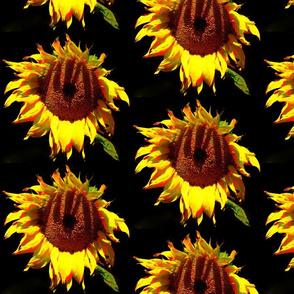 Sunflowers on Black