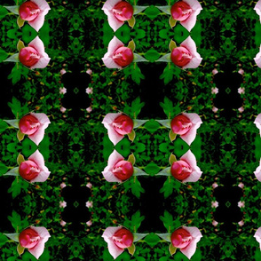 Rosebuds of May