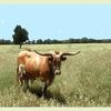 1855789-hl-longhorn-bull-watercolor-by-adr_designs