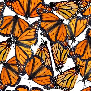 Monarch flock of butterflies