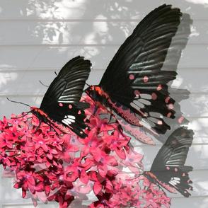RedBlackButterfly