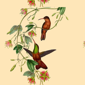 Hummingbirds large - old nature drawings by Gould