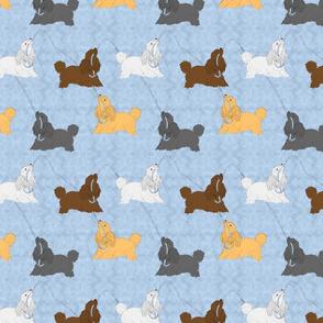 Tug of war Miniature Poodles - blue