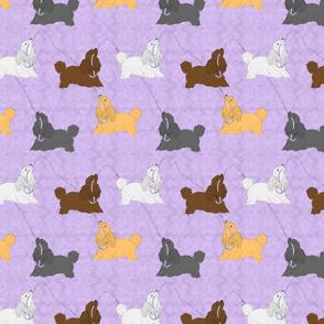 Tug of war Miniature Poodles - purple
