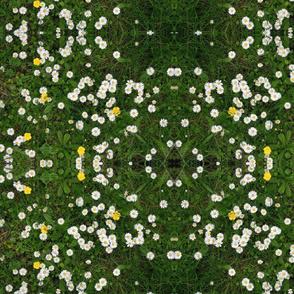 A walk amongst daisies