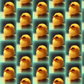 chicks 2soft focus