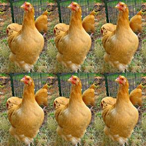 chickens alert-bright
