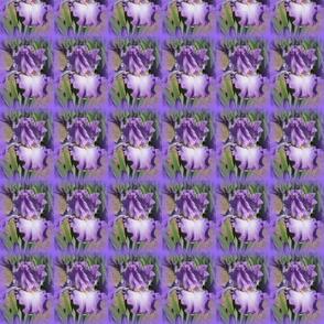Purple Iris Purple Frame