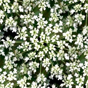 Cow parsley (small)