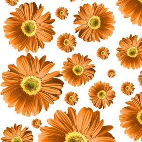 Orange Daisies