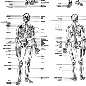 anatomical study of a skeleton