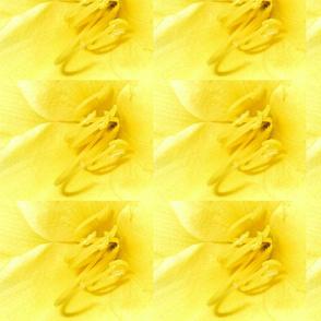 Daffodil macro pic wrapping paper