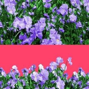 Viola Field