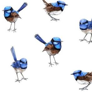 Blue Wrens Scattered on White