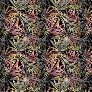 Lacy Leaf Black Sativa