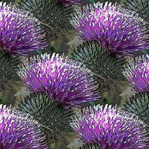 fandango thistle flower