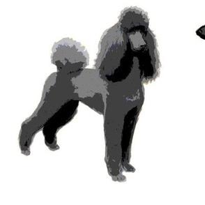 black poodles white backgroung