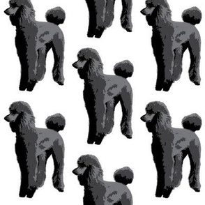 black poodle white background