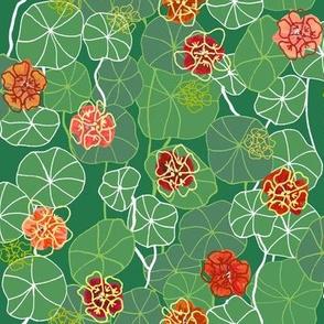 Nasturtium in Bloom