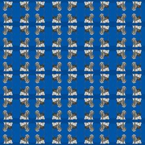 Cesky Terrier blues and grey