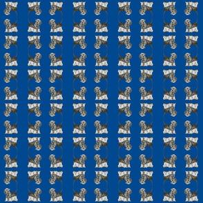 Cesky Terrier med blue grey