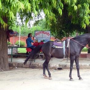 Horse in Jaipur