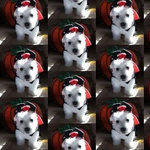 Westie devil pup