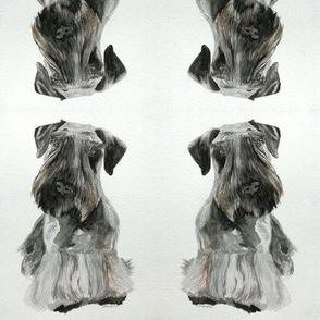 Cesky Terrier-ed