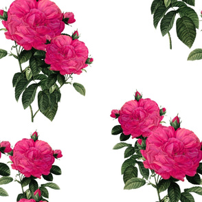 Redoute Rose ~ Hot Pink