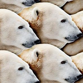 Pack of Polar Bears