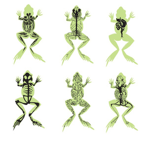 Large Anatomy : 6 Systems of the Adult Male Frog