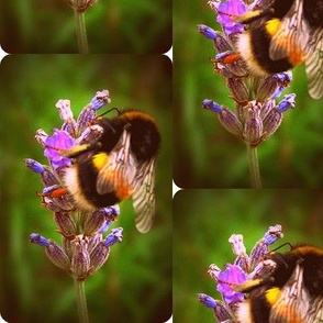 lavender bumble