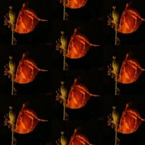 midnight poppy