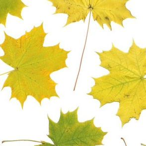 life-sized maple leaves on white