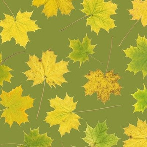 maple leaves on yellow-green
