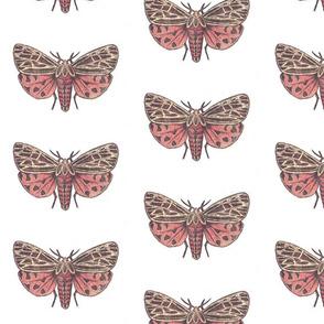 Medium Tiger Moth