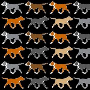 Trotting American Staffordshire Terriers large border B