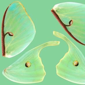 Smaller Luna Moth Wings