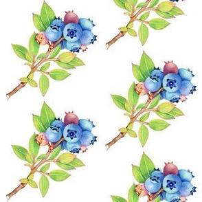 Maine Blueberry Botanical