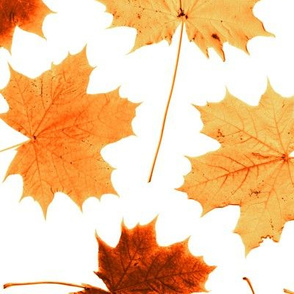 maple leaves - harvest colors, life sized