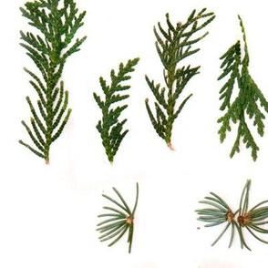 Botanical Coniferous